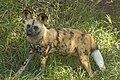 African Wild Dog (4334188502).jpg