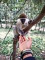 African green monkey(Grivet).jpg