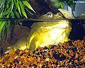 Afrikanischer Grabfrosch (Pyxicephalus adspersus).jpg