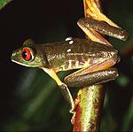 Fêmea da perereca Agalychnis callidryas, fotografada na Ilha de Barro Colorado, Panamá.
