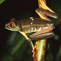La déforestation de la forêt amazonienne menace beaucoup d'espèces comme les grenouilles dendrobates, qui sont très sensibles aux changements environnementaux (image: Agalychnis callidryas)