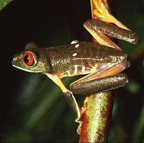 Agalychnis callidryas.jpg