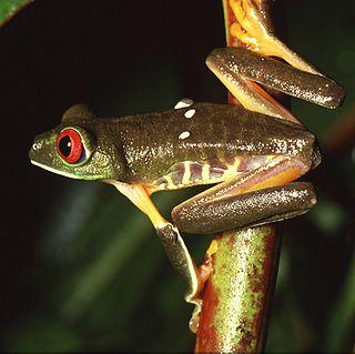 Hylidae family of amphibians