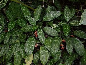 Aglaonema commutatum, Blätter und Früchte