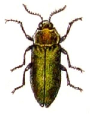 Agrilus hyperici - Image: Agrilus.hyperici. .calwer.24.13