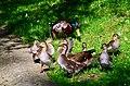 Aix galericulata (Küken) - Nymphenteich Zürichhorn 2013-06-12 16-39-20.JPG