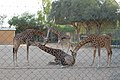Al Ain giraffes - panoramio.jpg