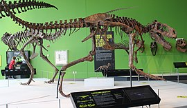 Albertosaurus at Science Center of Iowa.jpg