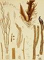Algae japonicae Musei botanici lugduno-batavi (1870) (17923355156).jpg