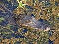 Alligators swamps.jpg