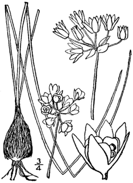 Allium drummondii drawing