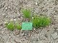 Allium schoenoprasum subsp. schoenoprasum - Copenhagen Botanical Garden - DSC07673.JPG