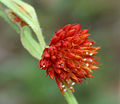 Allmania nodiflora is it W2 IMG 1667.jpg
