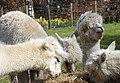 Alpacas (33649161191).jpg