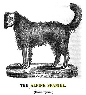 "Alpine Spaniel - Drawing from ""Biographical sketches and authentic anecdotes of dogs"" by Thomas Brown (1829)"