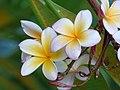Amancayo - Frangipán - Azuceno (Plumeria rubra fo. acutifolia) - Flickr - Alejandro Bayer (1).jpg