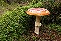 Amanita muscaria (29881626010).jpg