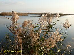 Parco naturale regionale litorale di ugento wikipedia for Plante lacustre