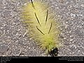 American Dagger Moth larva (Noctuidae, Acronicta americana) (26457176623).jpg