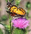 American Painted Lady on Thistle (3116791869).jpg