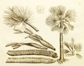 Ampana 1-10 Rheede 1678.png