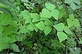 Amphicarpaea bracteata SCA-04705.jpg