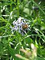 Amsonia hubrichtii - Flickr - peganum (2).jpg