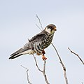 Amur falcon, Falco amurensis, female at Kruger Park (43918209200).jpg