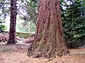 An American Redwood Tree at Kilravock Castle - geograph.org.uk - 1512392.jpg