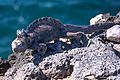 An excursion to Isla Plaza Sur - Marine Iguana (16654104736).jpg