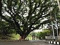 An old tree at CRB ,Chittagong.jpg