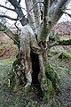 An old tree by the Ralton Burn - geograph.org.uk - 1141563.jpg
