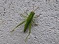 Anacridium aegyptium juvenile 01.jpg