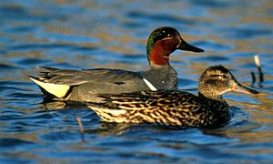 Green-winged teal - A pair, male in nuptial plumage at rear