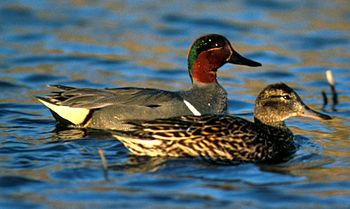 Green-winged Teal, a species formerly consider...