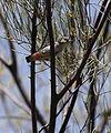 Anatyeke mistletoebird - Christopher Watson.jpg