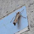 Ancylolomia tentaculella^ Pyralidae - Flickr - gailhampshire (1).jpg