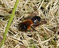 Andrena nitida female - Flickr - gailhampshire.jpg