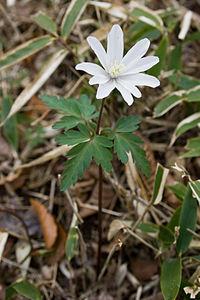 Anemone pseudoaltaica 07
