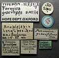 Anoplolepis gracilipes casent0102951 label 1.jpg