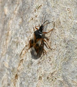 Anthocoris sp. - Flower Bug - Flickr - S. Rae.jpg