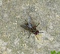 Anthomyiidae? (34200280865).jpg