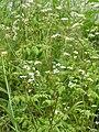 Anthriscus cerefolium subsp. trichosperma1.JPG
