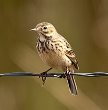 Anthus rubescens -Harney County, Oregon, USA-8.jpg