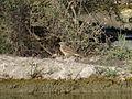 Anthus spinoletta (15985283255).jpg