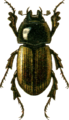 Aphodius lunifer Jacobson.png