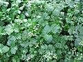 Apium graveolens 01.jpg