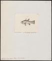 Apogon axillaris - 1832 - Print - Iconographia Zoologica - Special Collections University of Amsterdam - UBA01 IZ13000036.tif