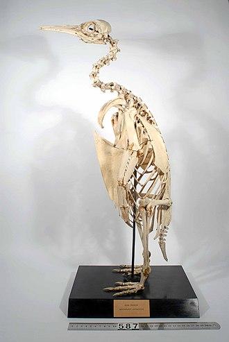 King penguin - Mounted skeleton of king penguin (Aptenodytes patagonicus)