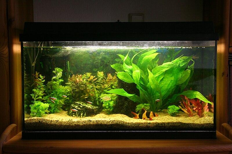 File aquarium prachtschmerle wikimedia commons for Aquarium decoration set